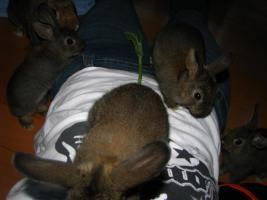 Foto 4 6 hübsche Kaninchenbabys, 10 Wo. alt, suchen dringend ein Zuhause!