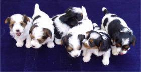 6 h�bsche reinrassige Biewer Yorkshire Terrier Welpen