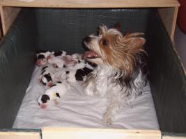 Foto 2 6 h�bsche reinrassige Biewer Yorkshire Terrier Welpen