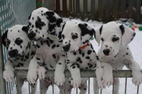 Foto 1 Dalmatiner Welpen Vds 7 Wochen alt