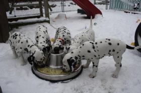 Foto 6 Dalmatiner Welpen Vds beim Fressen Tag48