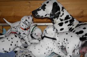 Foto 7  6 süsse Dalmatiner-Welpen vom VDH- Züchter zu verkaufen