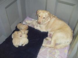6 süße Labradorwelpen
