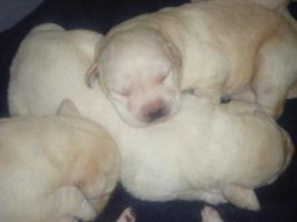 Foto 2 6 süße Labradorwelpen