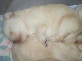 Foto 5 6 süße Labradorwelpen