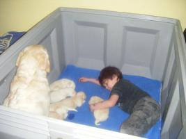 Foto 6 6 süße Labradorwelpen
