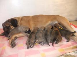 6 süße Mastiffwelpen