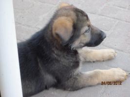 6 tolle graue Schäferhunde