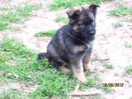 Foto 2 6 tolle graue Schäferhunde