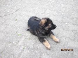 Foto 4 6 tolle graue Schäferhunde