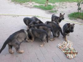Foto 5 6 tolle graue Schäferhunde