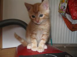 6 wunderschöne Britisch Kurz Haar Katzenbaby, stubenrein, an Kinder gewöhnt