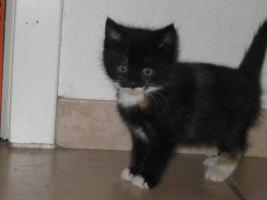 Foto 2 6 wunderschöne Britisch Kurz Haar Katzenbaby, stubenrein, an Kinder gewöhnt