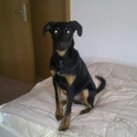 Foto 2 7 Monate alten Doberman-Sch�ferhund Mix