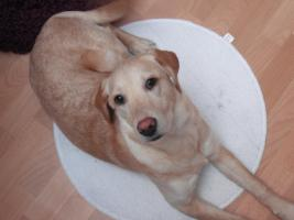 7 Monate alten Labrador
