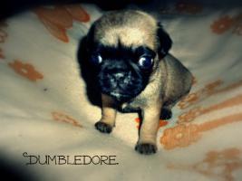 Dumbledore[1]