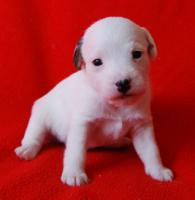 7 Parson Jack Russell Terrier Welpen ( Jack Russel )
