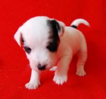 Foto 4 7 Parson Jack Russell Terrier Welpen ( Jack Russel )