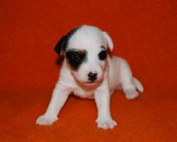 Foto 5 7 Parson Jack Russell Terrier Welpen ( Jack Russel )