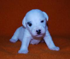 Foto 6 7 Parson Jack Russell Terrier Welpen ( Jack Russel )