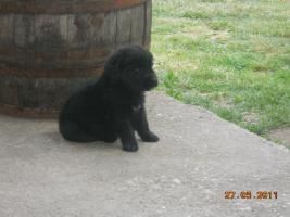 Foto 3 7 süsse schwarze Labrador Babys zvk mit gratis Lieferung!