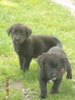 Foto 4 7 süsse schwarze Labrador Babys zvk mit gratis Lieferung!