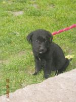 Foto 5 7 süsse schwarze Labrador Babys zvk mit gratis Lieferung!