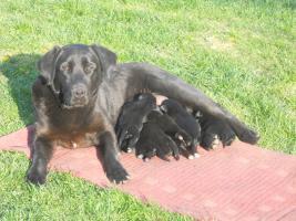 Foto 6 7 süsse schwarze Labrador Babys zvk mit gratis Lieferung!