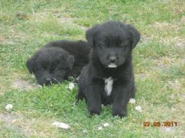Foto 2 7 süsse schwarze Labrador Babys zvk mit gratis Lieferung!