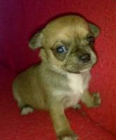 ˙·٠•●♥ 2 Chihuahua -Welpen   braun   Kurzhaar ♥●•٠·˙