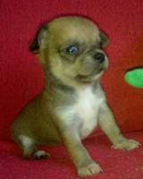 Foto 3 ˙·٠•●♥ 2 Chihuahua -Welpen   braun   Kurzhaar ♥●•٠·˙