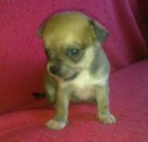 Foto 4 ˙·٠•●♥ 2 Chihuahua -Welpen   braun   Kurzhaar ♥●•٠·˙