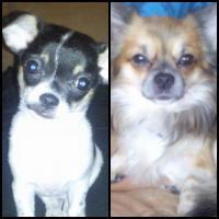 Foto 5 ˙·٠•●♥ 2 Chihuahua -Welpen   braun   Kurzhaar ♥●•٠·˙