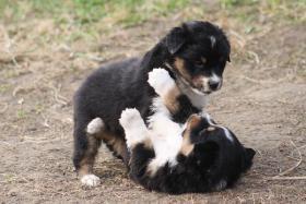 Foto 10 8 Australian Shepherd Welpen mit ASCA Papieren