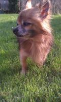 8 Jähriger Chihuahua sucht ein neues zu Hause!