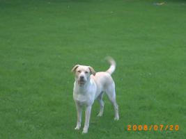 Foto 2 8 Labrador-Husky Welpen