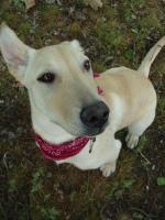 8 Monate alte Labrador-Mischlingshündin sucht neues Zuhause