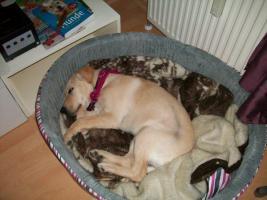 Foto 2 8 Monate alte Labrador-Mischlingshündin sucht neues Zuhause