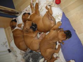 8 Wochen alte Boxer Welpen abzugeben!