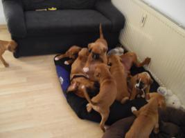 Foto 4 8 Wochen alte Boxer Welpen abzugeben!