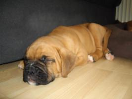 Foto 6 8 Wochen alte Boxer Welpen abzugeben!