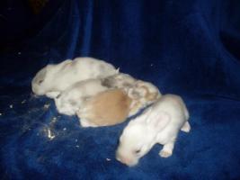 Foto 2 8 Wunderschöne Satinwiedder Babys