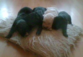 Foto 2 8 kleine Welpen suchen ein neues zu hause!!!!!!!!!!