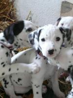 8 süße Dalmatiner Welpen zu verkaufen