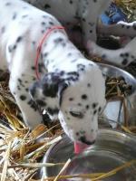 Foto 2 8 süße Dalmatiner Welpen zu verkaufen