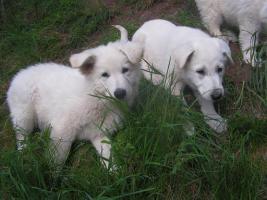 8 weisse Schäferhundwelpen, kleine Eisbären