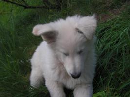Foto 2 8 weisse Schäferhundwelpen, kleine Eisbären