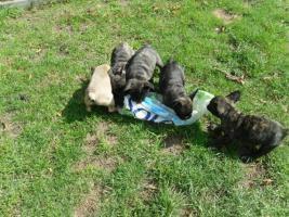 8 wochen alte franz.bulldoggenwelpen