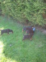 Foto 4 9 Wochen alte Rottweilermischlinge zu verkaufen