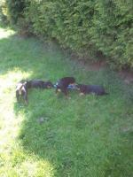 Foto 5 9 Wochen alte Rottweilermischlinge zu verkaufen
